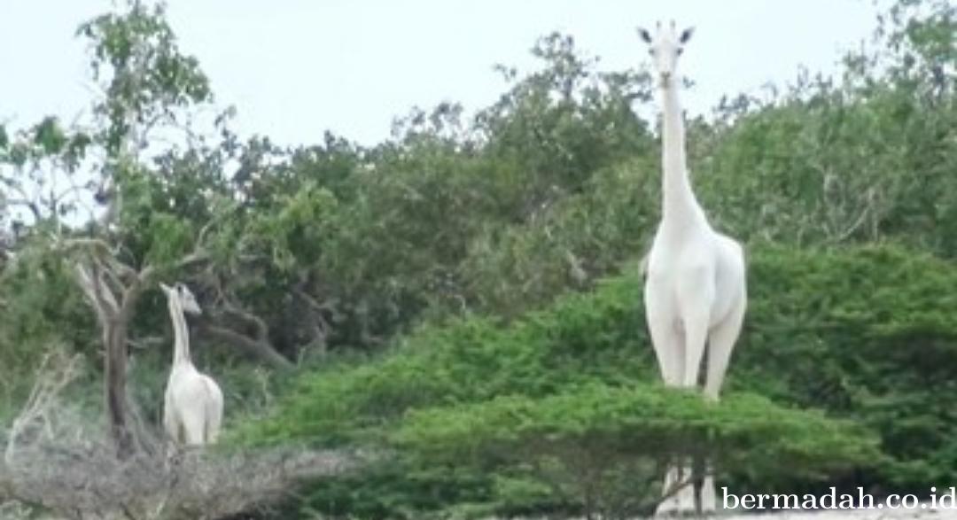 Jerapah Putih, Hewan Langka Ini Ditemukan Mati
